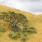 Sage Under Oak Poster