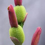 Saging-saging Flower Buds Macro Poster