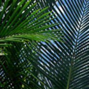 Sago Palm Fronds Poster