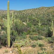Saguaro Cacti Tucson Az Poster