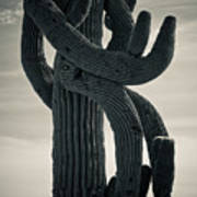 Saguaro Cactus Armed And Twisted Poster