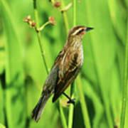 Saltmarsh Sparrow Poster