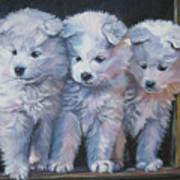 Samoyed Pups Poster