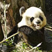 San Diego Panda Poster
