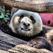 San Diego Zoo California Giant Panda Poster