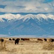San Luis Valley And Cattle Poster