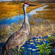 Sandhill Crane In The Glades Poster