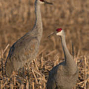 Sandhill Cranes On Watch Poster