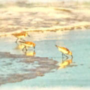 Sandpipers Along The Shoreline Poster