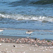 Sandpipers And Seashells - Poster Poster
