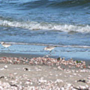 Sandpipers At The Seashore Poster