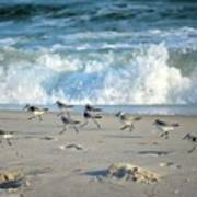 Sandpipers Running Everywhere Poster