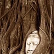 Sandstone Buddha Head Overgrown By Banyan Tree Thailand Poster