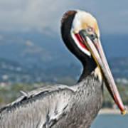 Santa Barbara Brown Pelican Poster