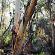 Santa Barbara Eucalyptus Forest Poster
