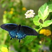 Sapphire Swallowtail Poster