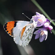 Sara Orange-tip On Wild Hyacinth Poster