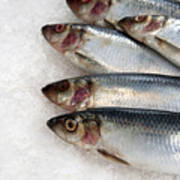 Sardines On Ice Poster by Jane Rix