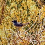 Sardinian Warbler Poster