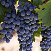 Sauvignon Grapes Poster by Garry Gay