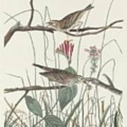 Savannah Finch Poster