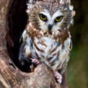 Saw-whet Owl Poster by Wade Aiken