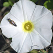 Sawfly On A Beach Morning Glory Flower Poster