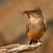 Say's Phoebe Pausing With Freshly Caught Red Dragonfly In Beak Poster