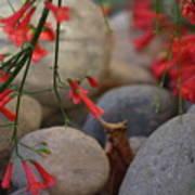 Scarlet Bugler Blossoms On Rocks Poster