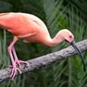 Scarlet Ibis Poster