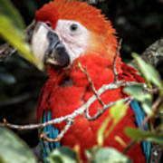 Scarlet Macaw La Macarena Colombia Poster