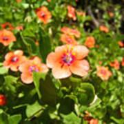 Scarlet Pimpernel Flower Photograph Poster