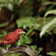 Scarlet Tanager In Costa Rica Poster