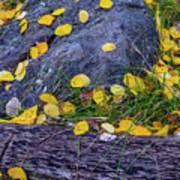 Scattered Aspen Leaves Poster