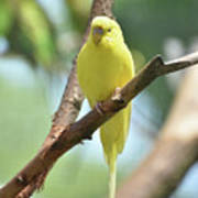 Scenic View Of An Adorable Yellow Parakeet Poster