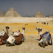 Scenic View Of The Giza Pyramids With Sitting Camels Poster