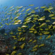 School Of Yellow Snapper, Great Barrier Poster