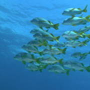 School Of Yellowtail Grunt Underwater Poster