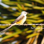 Scissor-tailed Flycatcher Poster