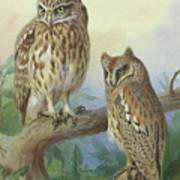 Scops Owl By Thorburn Poster