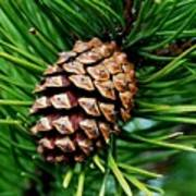 Scotch Pine Cone Poster
