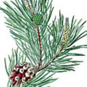 Scots Pine, Pinus Silvestris Poster