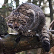 Scottish Wildcat Poster