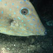 Scrawled Filefish Profile, Alutera Poster