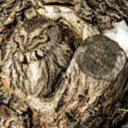 Screech Owl In Cavity Nest Poster