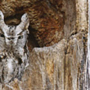Screech Owl In Hole Poster