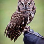 Screech Owl Perched Poster by Athena Mckinzie