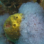 Sea Anemone On Pedernales Wreck In Aruba Poster