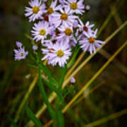 Sea Aster Poster