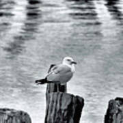 Sea Gull Black And White Poster